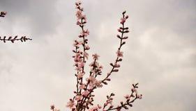 Rosa blommor för persika mot den molniga himlen på vårtid royaltyfri foto