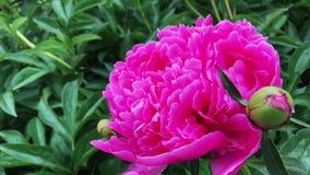 Rosa blommor f?r pion i tr?dg?rd arkivfilmer