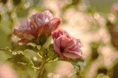 Rosa blommor för Retro bröllop, valentine& x27; s-dagblommor arkivfoton