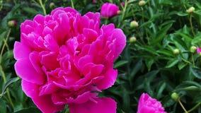 Rosa blommor f?r pion i tr?dg?rd lager videofilmer