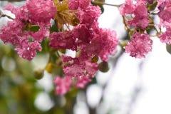 Rosa blommor, härligt, nytt som är regniga royaltyfria bilder
