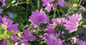 Rosa blommor i gården i sommaren stock video