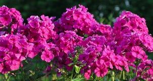 Rosa blommor i gården i sommaren arkivfilmer