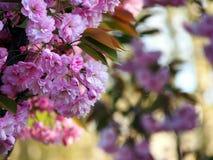 Rosa blommor, japansk körsbär Arkivfoton