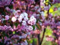 Rosa blommor, japansk körsbär Arkivbild