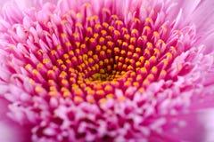 Rosa blommor, makro Arkivbild