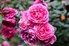 Rosa blommor och blured grön sidabakgrund royaltyfria bilder