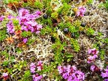 Rosa blommor och crowberries arkivbild