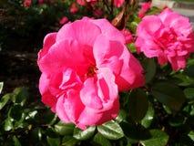 Rosa blommor och gröna grases royaltyfria bilder