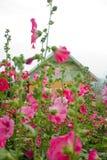 Rosa blommor och knoppar. Arkivbild