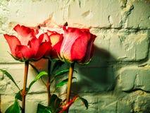 Rosa blommor på en vit bakgrund för tegelstenvägg royaltyfri fotografi