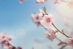 rosa blommor på fattar av en vårbakgrund för blomma träd arkivfoton
