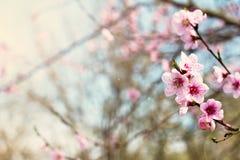 rosa blommor på fattar av en vårbakgrund för blomma träd royaltyfri bild