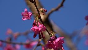 Rosa blommor på filial i vinden lager videofilmer