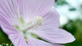 Rosa blommor på vind på sommardagen lager videofilmer