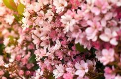 Rosa blommor som blommar på våren royaltyfria bilder