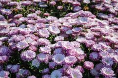 Rosa blommor som blommar textur Hösten blommar bakgrund royaltyfri fotografi