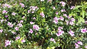 Rosa blommor som blomstrar i vindrörelsen arkivfilmer