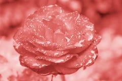 Rosa blommor som bor korall, färg av det 2019 året royaltyfria bilder