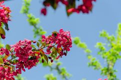 Rosa blomning för äppleträd mot blå himmel fotografering för bildbyråer