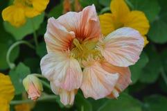 Rosa blomning för indiankrasse i höst Arkivfoto