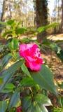 Rosa blomningar Royaltyfria Bilder