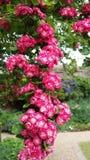 Rosa blomningar Arkivbilder