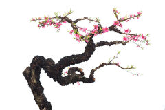 Rosa blomningar fotografering för bildbyråer