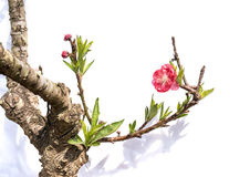 Rosa blomningar royaltyfri bild