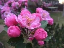 Rosa blomningar på ett Crabapple träd arkivbilder