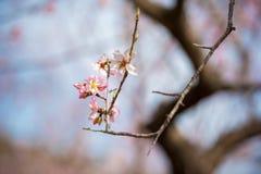 Rosa blomningmandelträd mot blå himmel utomhus skjutit selektivt för fokus arkivfoto