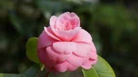 Rosa blomningrosa färger i vårtid arkivbild