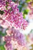 Rosa blomstra lila i solig dag; slut upp Fotografering för Bildbyråer