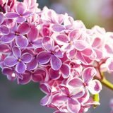 Rosa blomstra lila i solig dag; slut upp Royaltyfria Foton