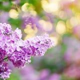 Rosa blomstra lila i solig dag; slut upp Royaltyfria Bilder