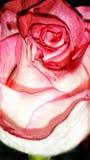 Rosa blossem Royaltyfri Fotografi