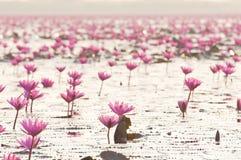 Rosa blossomin för lotusblomma (näckros) dammet Arkivbilder