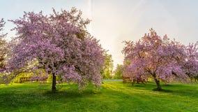 Rosa Blütenbäume Stockfotografie