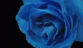 Rosa blu Fotografia Stock