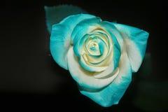 Rosa blu Immagini Stock Libere da Diritti