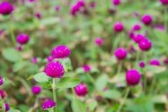 Rosa Blume Stockbilder