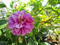 Rosa Blume lizenzfreie stockfotos