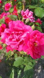 Rosa Blume stockfotografie