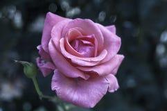 Rosa Blume Lizenzfreie Stockbilder