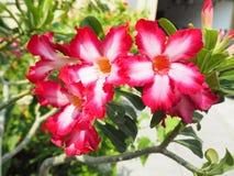 Rosa Blume, Adenium obesum Stockbild