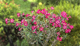 Rosa Blume, Adenium obesum Baum, Wüstenrose, Impala-Lilie Stockbild