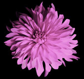 Rosa Blume auf einem schwarzen Hintergrund lokalisiert mit Beschneidungspfad nahaufnahme große rauhaarige Blume Stockfoto