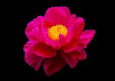 Rosa Blume auf schwarzem Hintergrund Lizenzfreie Stockbilder
