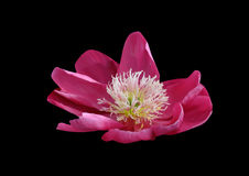 Rosa Blume auf schwarzem Hintergrund Stockbilder