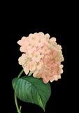 Rosa Blume auf schwarzem Hintergrund Stockfotos